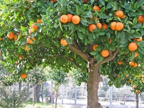 piante-da-frutto-9
