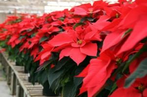 Giardinaggio – Cura stella di Natale: i segreti per farla rifiorire